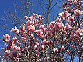 2016-03-18 10 51 03 Saucer Magnolia blossoms along Tranquility Lane in the Franklin Farm section of Oak Hill, Fairfax County, Virginia.jpg