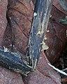 2016-10-05 Crocicreas dolosellum (P. Karst.) S.E. Carp 674764.jpg