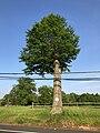 2018-05-29 18 40 34 Topped Pin Oak along U.S. Route 202 (Main Street) in Far Hills, Somerset County, New Jersey.jpg