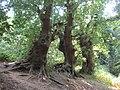 2018-07-25 Three ancient Oak trees, Foxhill woods, Northrepps.JPG