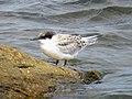2020-07-18 Sterna dougallii, St Marys Island, Northumberland 20.jpg
