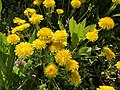 2021-04-20 11 17 44 A cluster of dandelion flowers along Allness Lane in the Chantilly Highlands section of Oak Hill, Fairfax County, Virginia.jpg