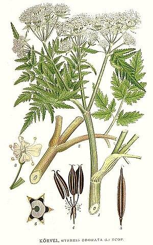 Carl Axel Magnus Lindman - Image: 265 Myrrhis odorata