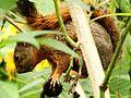 2 Especie de ardilla (Sciurus), Henri Pittier, Venezuela.jpg