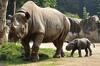 Black rhinoceros - An adult black rhinoceros with young grazing in Krefeld Zoo