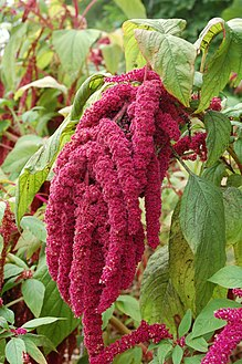 Amaranthus caudatus growing in the Botanical Garden, Bremen
