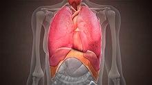 Die Struktur des Diaphragmas wird anhand einer Standaufnahme einer medizinischen 3D-Animation gezeigt