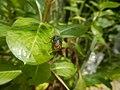 4217Foods Common houseflies Ants of the Philippines 01.jpg