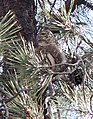 458 - NORTHERN PYGMY-OWL (11-16-2014) lower humboldt cyn, patagonia mts, santa cruz co, az (15807218225).jpg