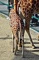 50 Jahre Knie's Kinderzoo Rapperswil - Giraffa camelopardalis 2012-10-03 14-31-23.JPG