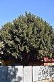 68-104-5026 Kam-Pod Taxus Baccata RB 18.jpg