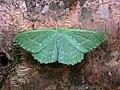 70.299 BF1666 Large Emerald, Geometra papilionaria (3120191525).jpg