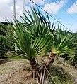 7 Rodrigues Screwpine -Pandanus heterocarpus - Rodrigues.jpg