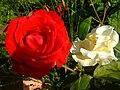 A.rosa.flower99.jpg