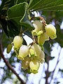 A.unedo-flores-1.JPG