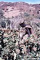 ASC Leiden - W.E.A. van Beek Collection - Dogon daily life 11 - A man repairs the fence around the onions, Tireli, Mali 1980.jpg