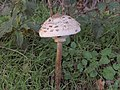 A Fungus near a Footpath - geograph.org.uk - 75367.jpg