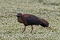 A Red Naped Ibis grabbing an insect for meal (49990631483).jpg