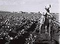 A SETTLER ADJUSTING A SPRINKLER IN A VEGETABLE FIELD AT MOSHAV BATZRA. חקלאים עובדים בשדות של מושב בצרה בשרון.D840-047.jpg