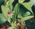 A and B Larsen orchids - Bulbophyllum lepidum 783-8z.jpg