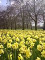 A field of Narcissus pseudonarcissus2.jpg