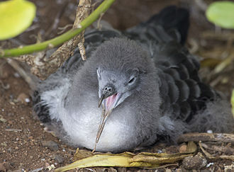 Wedge-tailed shearwater - Juvenile wedge-tailed shearwater, Kilaeau, Kauai, Hawaii