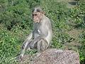 A monkey in Kansamalai.JPG