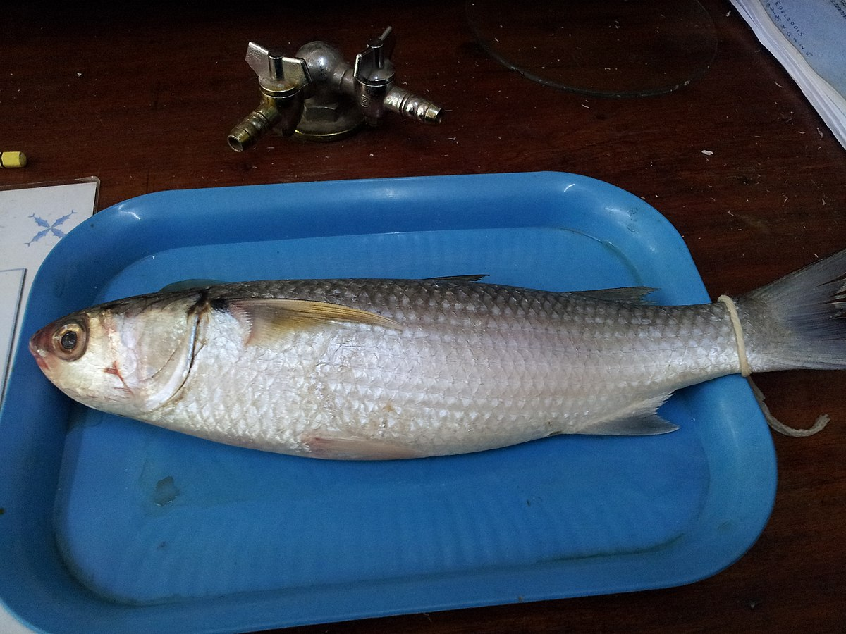 Flathead grey mullet wikipedia for Pictures of mullet fish