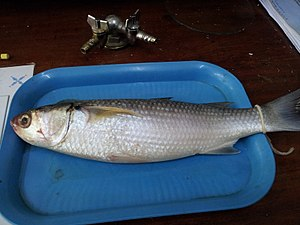 Flathead grey mullet - Image: A preserved mullet