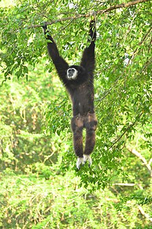 A white-handed gibbon holding branch of tree.jpg