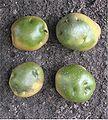 Aardappel groene knollen (Solanum tuberosum).jpg