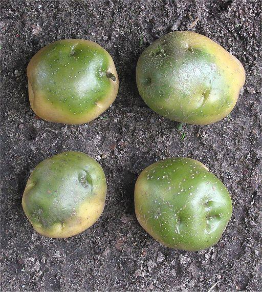 Aardappel groene knollen (Solanum tuberosum)