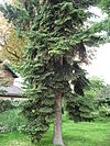 Abies numidica 02 by Line1.jpg