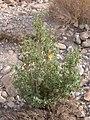 Abutilon fruticosum 2.JPG