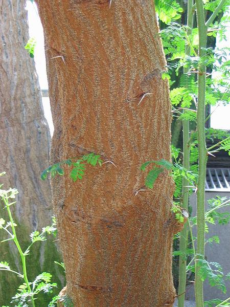 tronc de l'acacia epineux ou seyal
