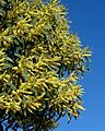 Acacia concurrens 2.jpg