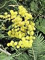 Acacia decurrens (Jardin des Plantes de Paris) 2.jpg