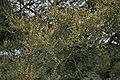 Acacia leucophloea flowering in Vanasthalipuram, Hyderabad, AP W IMG 9233.jpg