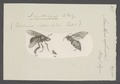 Acanthopus - Print - Iconographia Zoologica - Special Collections University of Amsterdam - UBAINV0274 045 08 0035.tif