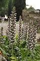 Acanthus mollis (18465654218).jpg