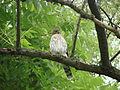 Accipiter cooperii Syracuse NY.jpg