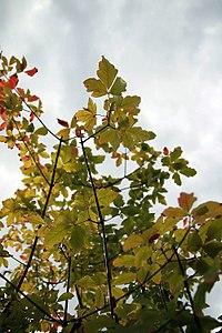 Acer griseum 9zz.jpg