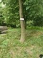Acero di Monte(Acer pseudo platanus ) specie arboree presente nel Parco del Monte Barro.jpg