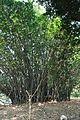 Acharya Jagadish Chandra Bose Indian Botanic Garden - Howrah 2011-01-08 9795.JPG