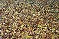 Acharya Jagadish Chandra Bose Indian Botanic Garden - Howrah 2011-02-20 1578.JPG