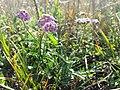 Achillea aspleniifolia sl2.jpg