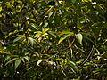 Actinodaphne angustifolia (6714371091).jpg