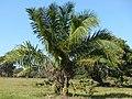 Acuri Palm (Attalea phalerata) (30968928603).jpg