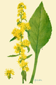 Addisonia 03-102 Solidago squarrosa.png