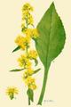 Addisonia 03-102 Solidago squarrosa.png